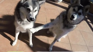Cosmo and Cody two Mini-Huskies making tricks - Video