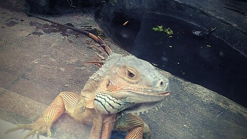 The big green iguana lives in the zoo
