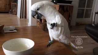 Clever Cockatoo Uses Spoon to Eat Yogurt - Video