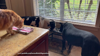 Happy Cat And Great Danes Enjoy Eating Breakfast Together