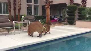 Pair of Capybaras Have Fun at Poolside - Video