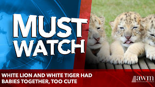 White lion and white tiger had babies together, too cute - Video