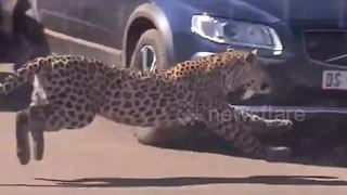 Check Out This Leopard Chasing An Antelope Around Safari Tourists' Cars