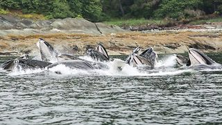 What a catch – pod of whales seen catching their dinner in unison - Video