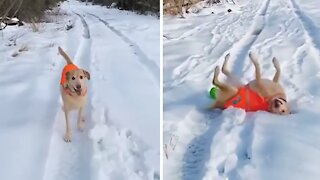 Labrador loves to do things differently when going for a walk