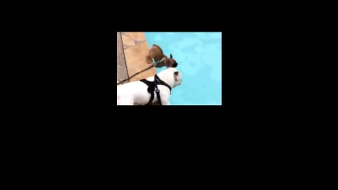 Dog Blatantly Ignores 'No Diving' Signs at Local Pool