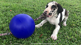 Great Dane Puppy  Plays With Jolly Ball Rope Toy  - Video