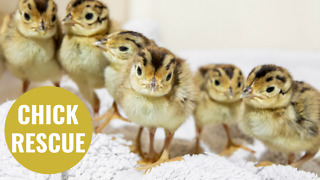 Pheasant chicks whose eggs were rescued from a grass fire - Video