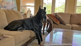 Great Dane is literally too big to sit on the sofa