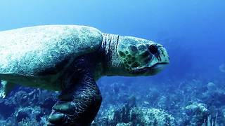 Massive sea turtle sneaks up on diver - Video