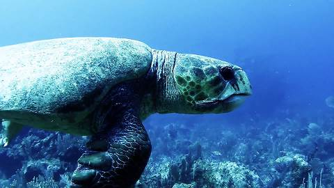 Massive sea turtle sneaks up on diver