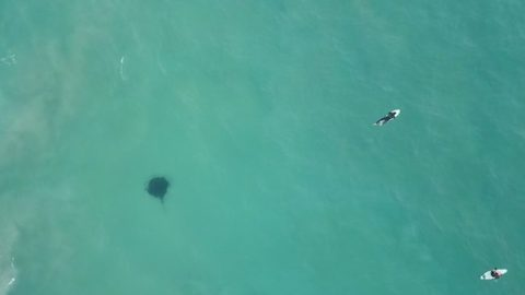 Incredible moment drone captures huge 14ft stingray lurking under oblivious surfers