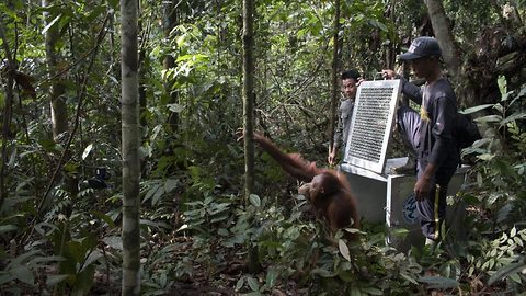 Watch the touching moment two Orangutans are freed into the wild