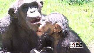 ZOOSDAY: Baby Chimpanzees - Video