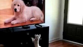 Chihuahua wants to play with dogs on tv