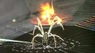 Spider Silk Showdown  - Video