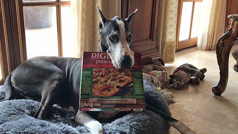 Amazing Great Dane Delivers DiGiorno Pizza in the Rain