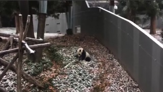 Adorable panda plays in snow at Smithsonian National Zoo - Video