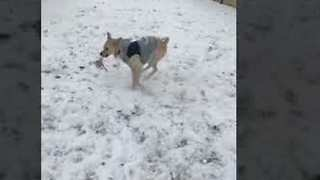 Playful Dog Loves Snow - Video