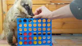 Sunny the Coati Is a Board Game Genius - Video
