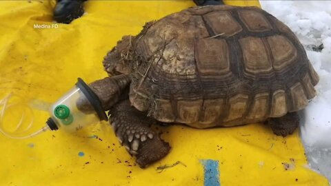 Several turtles, tortoise saved from shed fire in Medina with help of special oxygen mask