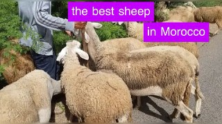 A fun moment with sheep.