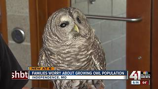 Some concerned about increased owl sightings in Independence