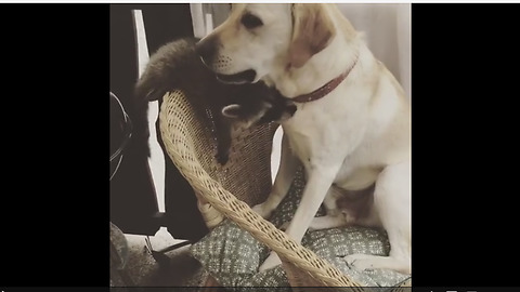 Dog & raccoon are best friends, enjoy priceless play date