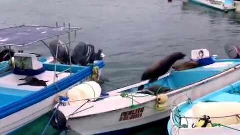 Sea lion proud of himself after searching boats to find his friends