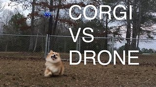 Energetic Corgi Loves to Chase Drone - Video