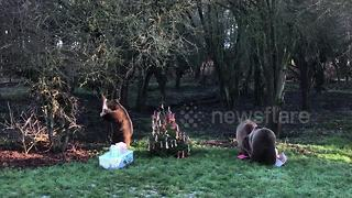 Three bears opens Christmas presents at Whipsnade Zoo - Video