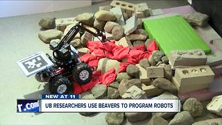 How are beavers making robots better at UB? - Video