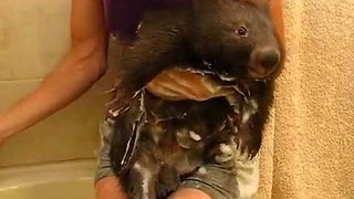 Clipper the Adorable Wombat's Super Fun Bath Time - Video