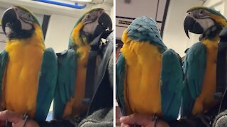 Pair of happy macaws ride the subway with ease