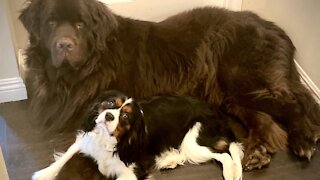 Huge Newfie demands equal attention with his Cavalier puppy brother