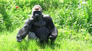 Silverback gorilla catches tomato like a pro
