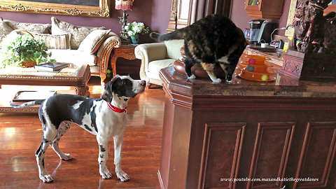Curious cats amused by bouncing Great Dane puppy