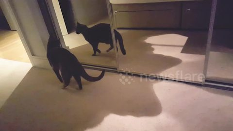 Oscar the strutting cat dances with its own reflection in the mirror