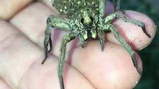 Wolf Spider Momma Carries Babies on Her Back - Video