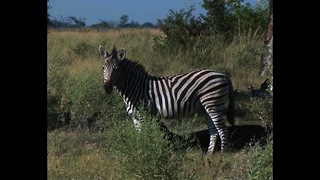 Awesome Zebra Facts