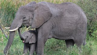 Elephants Have Special Genes That Keep Them From Getting Cancer - Video