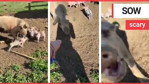 """A terrified girl admits a """"crazy pig"""" nearly bit her hand off as she tried to pat its snout"""
