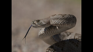 Seen them? 7 most common venomous snakes in Phoenix - ABC15 Digital