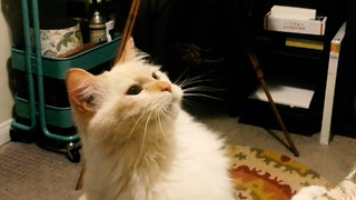 Richard the Ragdoll cat gives owner a high five - Video