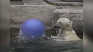 Polar Bear's Favorite Toy - Video