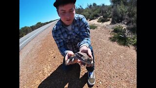 Brave Australian moves angry lizard off the side of the road