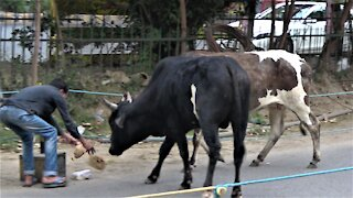 Generous rickshaw driver shares his lunch with stray cows in India