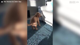 Puppy mesmerized by tail-wagging shadow!