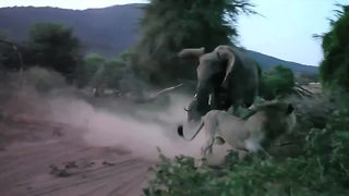 Mother elephant charges lion to protect newborn calf - Video