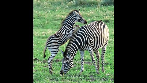 Playful baby zebra starts chases bird on mom's back